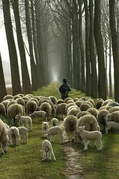 Following the shepherd.