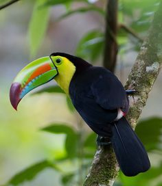 The keel-billed toucan.  Considered to be one of the most beautiful birds in the world, probably due to its enormous, colorful bill.