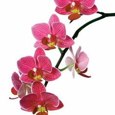 Grow Orchids As Tropical Accents - 10 Ways to Create a Backyard Oasis - Coastal Living Mobile Orchid Tattoo, Flower Tattoos, Roots Drawing, Orchid Drawing, Orchids Painting, Moth Orchid, Orchidaceae, Tropical Landscaping, Watercolor Flowers