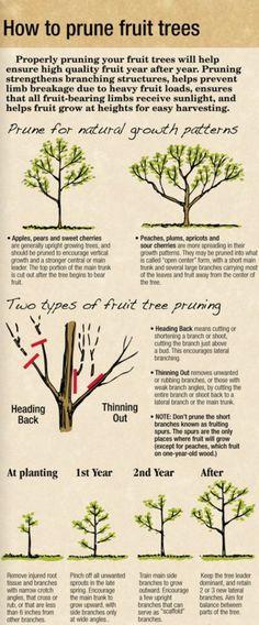 How To Prune Fruit Trees Gardening Fruittrees Parrishstl