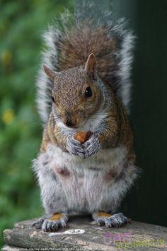 Female Grey Squirrel at Saltwell Park, Gateshead, England - photo by Steve Tipton, via omgsquirrel  (Weekly Flickr Roundup, Jun 19th, 2016)