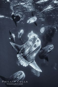 The ocean sunfish (Mola mola) is the world's largest known bony fish (sharks and rays are cartilaginous, not bony). At least one estimate over 3000 lb. has been recorded and individuals reaching  3 m. from fin tip to fin tip have been seen. It is found in all oceans in tropical and temperate climes, and is known to eat  jellyfish and probably small fishes and algae - by Phillip Colla