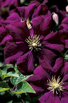 Clematis viticella 'Etoile Violette'~cu june 04.jpg