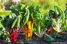 Beautiful bright chard - The Galloping Gardener