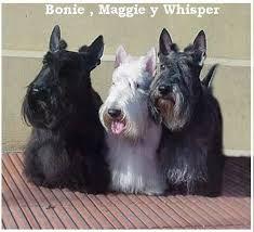 scottish terrier - Buscar con Google
