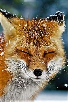 Make one special photo charms for your pets, compatible with your Pandora bracelets. Red Fox by Daniel Parent Nature Animals, Animals And Pets, Wild Animals, Animals Planet, Art Nature, Beautiful Creatures, Animals Beautiful, Cute Baby Animals, Funny Animals
