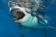 Shark Pictures, Shark Photos, Big Animals, Animals And Pets, Orcas, Deep Blue Shark, Hai Tattoos, Shark Bait, Great White Shark