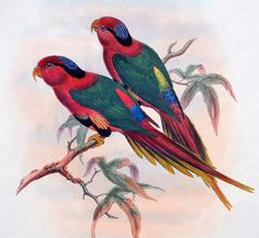 Gould Hart Birds of New Guinea – Hand Colored Parrot Lithograph Charmosyma | eBay