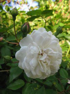 Rose of Damascus