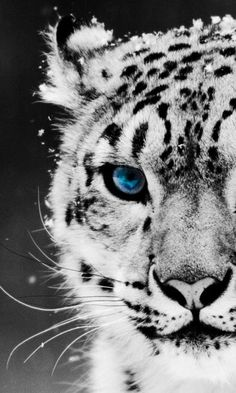"""Snow Leopard, Pakistan . . . If this picture is """"untouched"""" the leopards eye makes one think of a jewel!"""