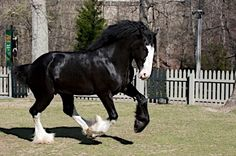 pictures of big big horses and clydesdale horses Big Horses, Black Horses, Horse Love, Brown Horse, Most Beautiful Horses, All The Pretty Horses, Animals Beautiful, Beautiful Things, Merida