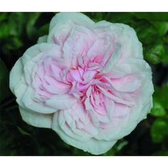 Top Quality Roses Souvenir de la Malmaison Over 270 Varieties of Roses