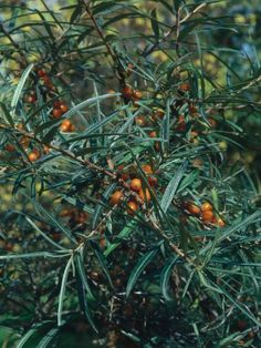 Sea+buckthorn+thrives+in+harsh+conditions,+as+long+as+they+have+full+sun+and+well-drained+or+moist+soil;+it+makes+an+excellent+screening+plant+for+a+coastal+garden.+It+has+thorny+stems+with+narrow,+silver-gray+leaves+and+can+be+trained+to+make+a+small+tree,+up+to+20+feet+tall+and+20+feet+wide.+Grow+male+and+female+plants+together+to+produce+brilliantly+orange-colored+berries.