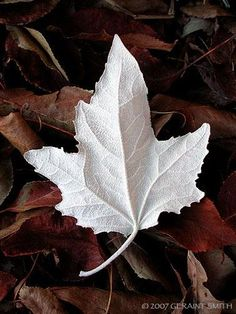 A White Leaf by Geraint Smith.