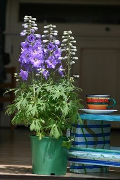 Grow Delphiniums in Pots or Containers - Delphinium.co.nz