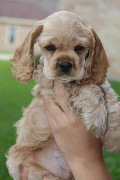 Cocker Spaniel puppy cutie