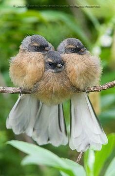Faintail Chicks ~ a New Zealand native bird