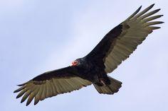 Buzzard Bird Pictures - Bing Images