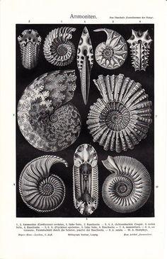 1908 Original Ernst Haeckel AMMONITE print, extinct group of marine invertebrate animals, molluscs, shelled nautiloids, old lithograph. $24.00, via Etsy.
