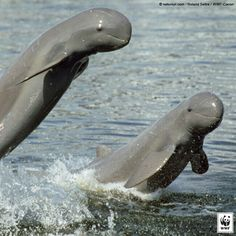 HELP SAVE the Mekong River's Irrawaddy Dolphins!   Just 85 Irrawaddy dolphins survive today in a small stretch of the Mekong River in Cambodia.  They are  being threatened by a newly proposed hydropower project, the Don Sahong Dam. With construction set to begin later this year, the clock is ticking for these rare & revered river dolphins. Tell the developers to STOP THE PROJECT! PLZ Sign & Share!