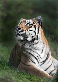 portrait of one of the Tigers from Paradise Wildlife Park