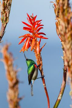 A greater double-collared sunbird angles up into the bells of aloe on the Tsitsikamma coast, South Africa Cacti And Succulents, Planting Succulents, Ostriches, Beautiful Birds, Pretty Birds, Beautiful Things, Kinds Of Birds, Abstract Images, Bird Watching