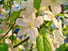 Apple Blossom- promise, preference, I will protect you, togetherness, tender love, good fortune, forever in harmony