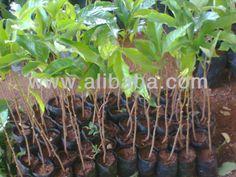 RAMBUTAN PLANTS $2~$3