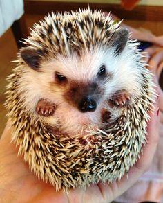 Hedgehog - Handful of prickly cuteness.