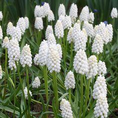 white grape hyacinth