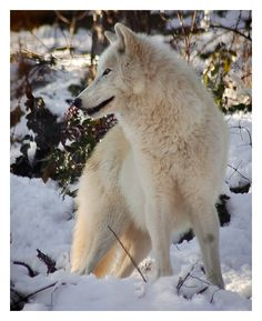 photo White_wolf_by_KateWalker.jpg
