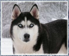 Husky Heaven -- such a beautiful breed -- absolutely intense.