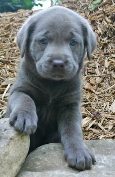 Cute Chocolate Lab Puppies With Blue Eyes: Silver Lab Puppies