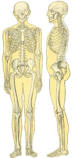 Squelette d'humain.