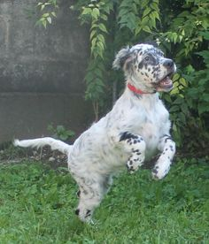 English Setter Pup Classic Look Animal Lover English Setter Dog Breeds