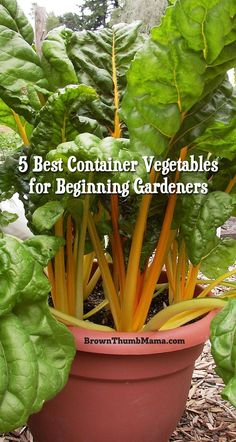 Gardening For Beginners Here are my 5 favorite container vegetables for beginning gardeners, plus container gardening tips and tricks for a great harvest. Fall Vegetables, Container Gardening Vegetables, Planting Vegetables, Organic Vegetables, Growing Vegetables, Vegetable Gardening, Veggies, Growing Plants, Planting Plants