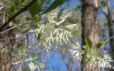 Fringetree blooms