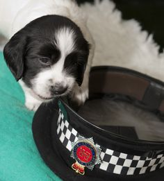 There's nothing like a good chew! When Graham Hazlehurst, a member of the Force's staff, sadly died, his family donated a sum of money to the Force's Dog Training Unit. They decided that a fitting tribute to Graham was to buy a spaniel and to breed puppies to supply the next generation of search dogs. These first pups are now at work with GMP officers.