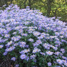 Lavender-blue, daisy flowers