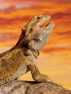 """Bearded Dragon (pogona Vitticeps) On Rock, Close-up"" by Don Farrall on fineartamerica.com"