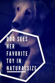 Dog Sees Her Favourite Toy Come To Life And She Totally Loses It <3 Funny Dog Images, Funny Dogs, Funny Pictures, Excited To See You, Freak Out, Popular Pins, Fun Facts, Lost, Movie Posters