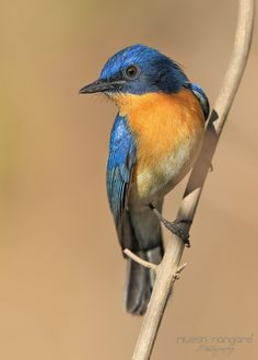 Tickell's Blue Flycatcher... by Ritesh Nangare on 500px