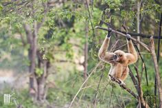 White-handed gibbon on one of the WFFT gibbon islands