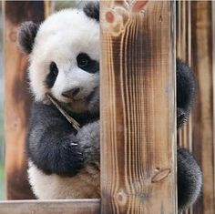 Panda smiles are the best smiles :) Panda Love, Cute Panda, Bear Pictures, Animal Pictures, Cute Baby Animals, Animals And Pets, Baby Pandas, Giant Pandas, Photo Panda