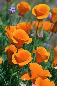 Premium Photographic Print: California Poppies, Antelope Valley, California, USA by Russ Bishop : 36x24in