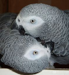 african grey parrots. one day I will own one of these beautiful birds. I still love my green cheek.