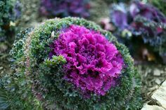 This plants common name is Ornamental Cabbage. What beautiful colors! Do you know where to find these ornamental cabbage plants on the Mizzou campus? Photo by Madeline Beyer. Cabbage Plant, Ornamental Cabbage, Annual Flowers, Common Names, You Know Where, Horticulture, Botanical Gardens, Garden Landscaping, Landscapes