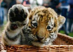 tigre-saludando Helloooooo!!!!!