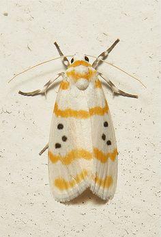 ˚Arctiid Moth (Cyana ariadne, Lithosiini, Arctiinae)