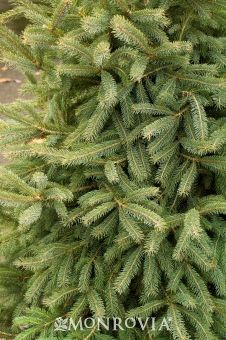 Black Hills Spruce - Desirable, symmetrical cone shape to this evergreen conifer. Dense bright-green needles mature to an interesting blue-green. Great landscape accent, useful as windbreak or screening. Attracts birds. Christmas tree. Christmas decoration.